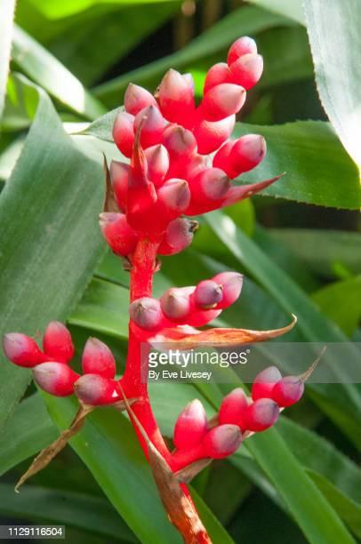 red berries - bromeliad ストックフォトと画像