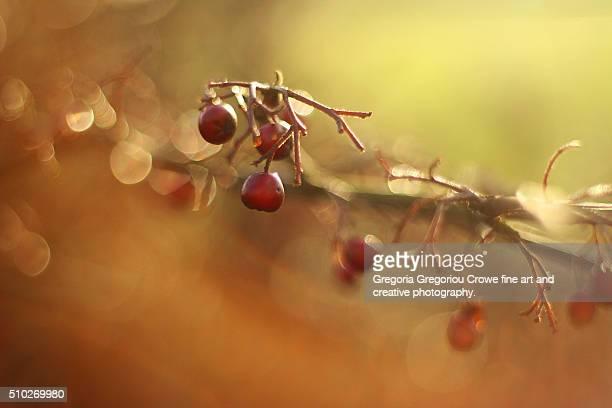 red berries - gregoria gregoriou crowe fine art and creative photography stockfoto's en -beelden