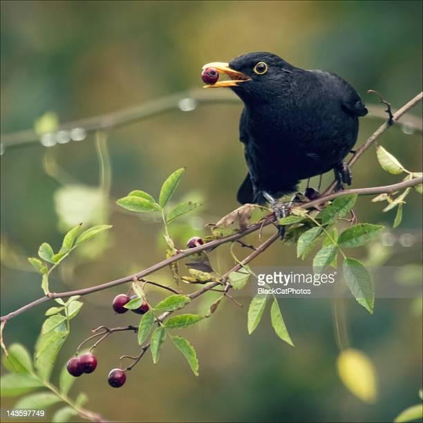 Red berry, black bird