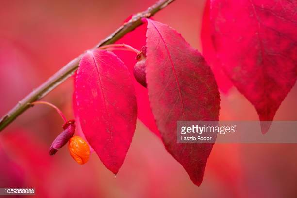 red berry - burning bush stock pictures, royalty-free photos & images