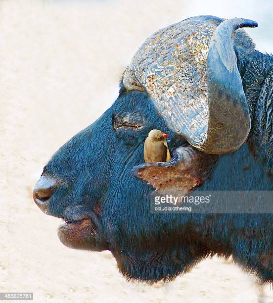 Red billed oxbird sitting on a buffalo, Limpopo, South Africa,