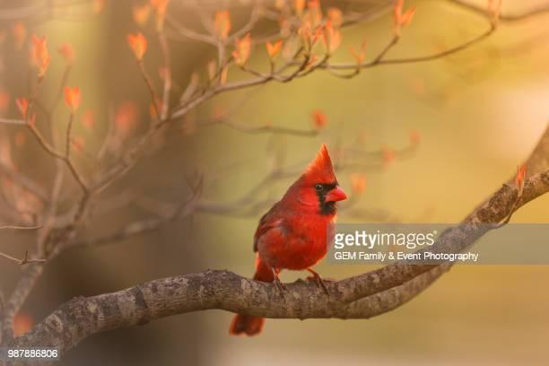 red bird, red bird - cardinal bird stock photos and pictures