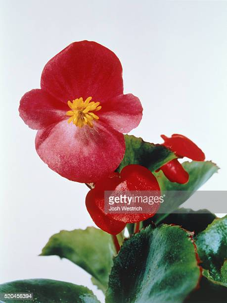red blossoms of a begonia - begonia stock pictures, royalty-free photos & images
