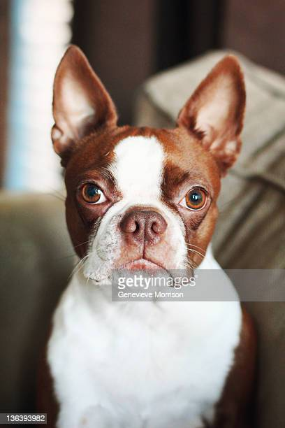 red boston terrier looking into camera - boston terrier stock photos and pictures