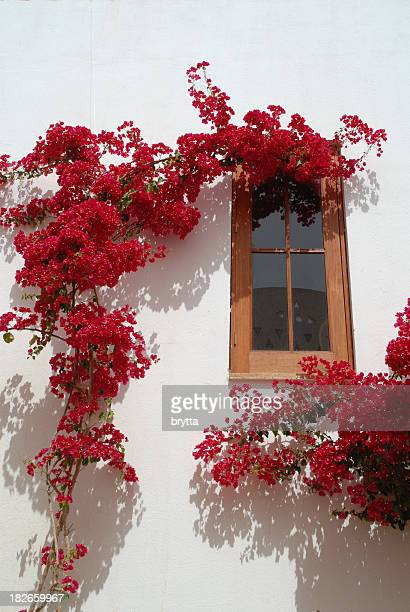 Red bougainvillea climbing against the white wall of a house.