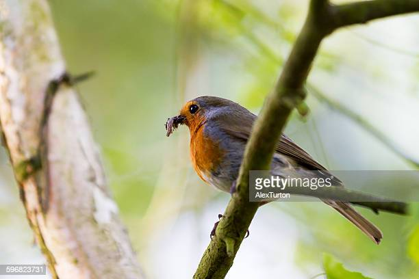 red breasted robin on a branch with a worm in beak