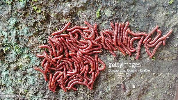 red bristleworm on rock - maggot stock photos and pictures