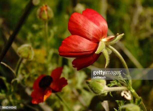 red buttercup - barulho stock pictures, royalty-free photos & images