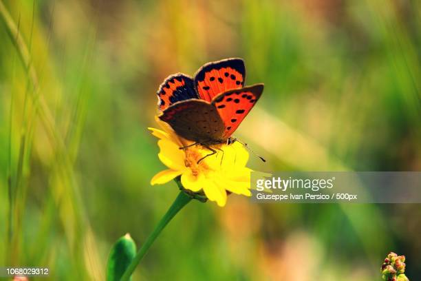 Red butterfly resting on flower