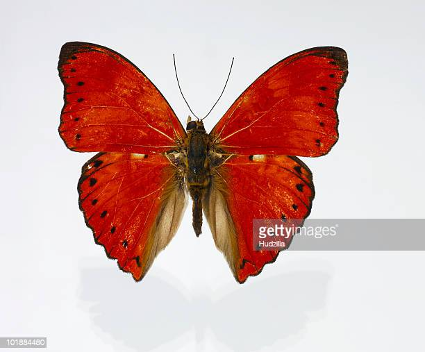 A red butterfly with black markings