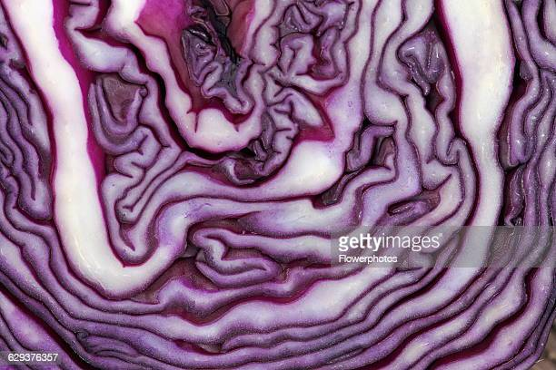 Red cabbage Brassica oleracea capitata Very close abstract view of slice through cabbage forming purple and white pattern