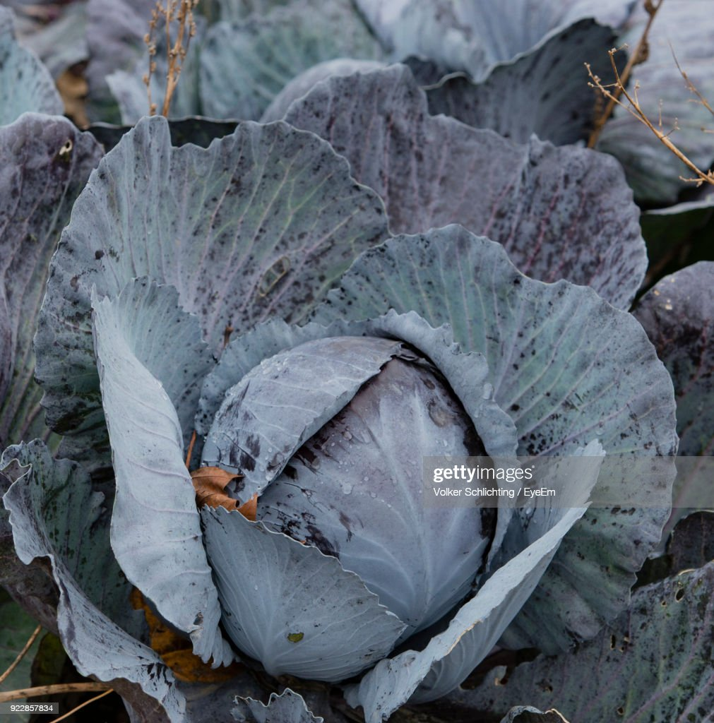 Red Cabbage Farm Stock Photo | Getty Images for Red Cabbage Farm  49jwn