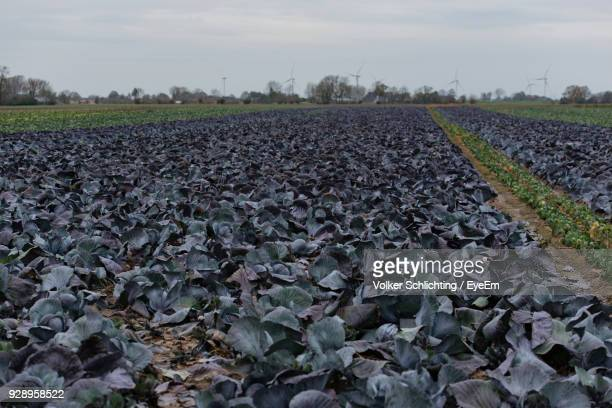 Red Cabbage Field Stock Photos And Pictures