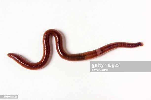red californian earthworm (eisenia fetida) - earthworm stock pictures, royalty-free photos & images