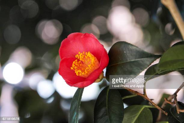 red camellia flower - 一月 stock pictures, royalty-free photos & images