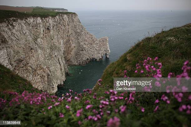 Red Campion flowers on the cliff tops at the RSPB's Bempton Cliffs on the East Yorkshire coast on May 6 2011 in Bempton United Kingdom Around 20000...