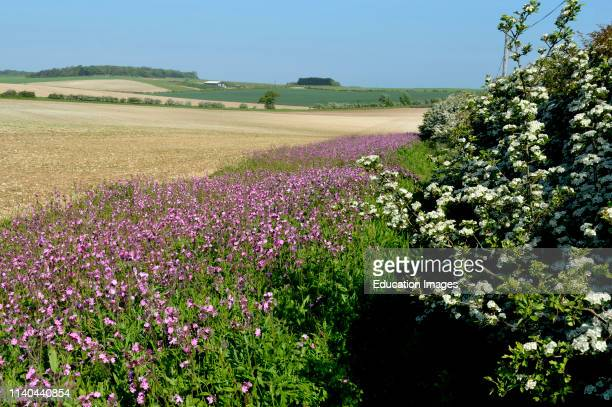 Red Campion wildflowers planted along edge of arable field Norfolk UK