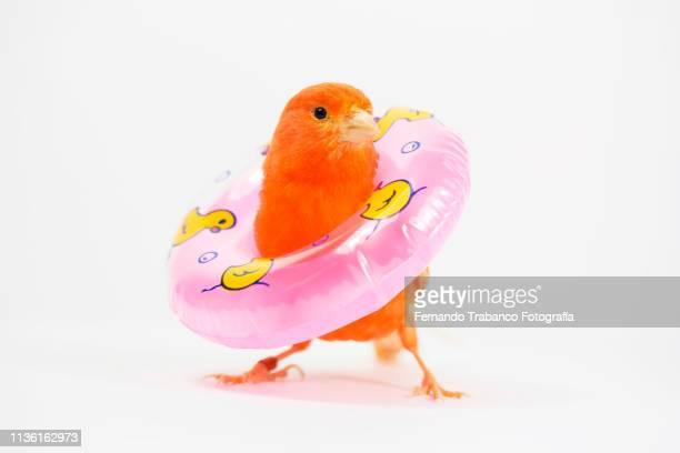red canary bird with a float - um animal imagens e fotografias de stock