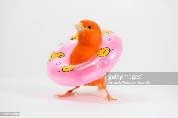 Red canary bird with a float vacation on the beach or by the pool