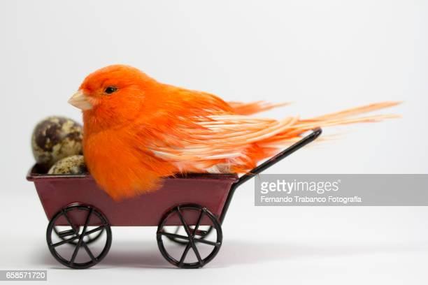 Red canary hatching eggs in a small wheelbarrow