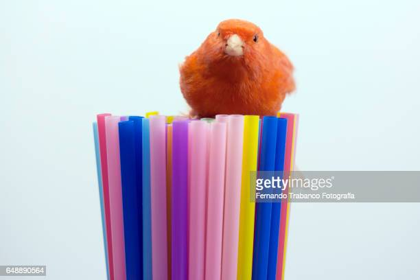 red canary hatching its nest on top of colored straws - red tube top stock photos and pictures