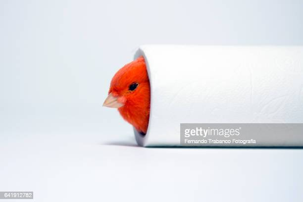 red canary hiding in a roll of toilet paper - funny toilet paper imagens e fotografias de stock