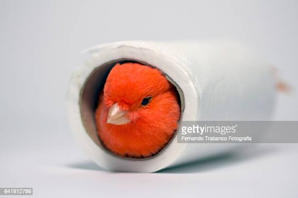 Red canary hiding in a roll of toilet paper