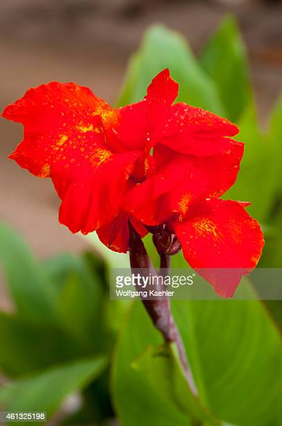 Red Canna lily flower in Port Elizabeth Bequia an island in the Grenadines in the Caribbean