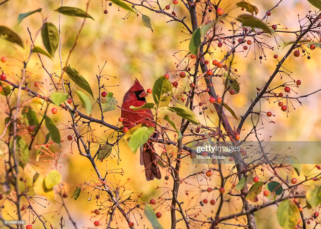 Red Cardinal among the Berries in Autumn : Stock Photo