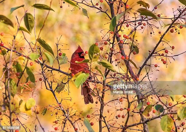 red cardinal among the berries in autumn - cardinal bird stock photos and pictures