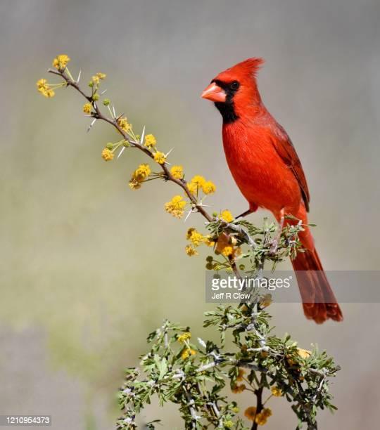 red cardinal bird in texas - cardinal bird stock pictures, royalty-free photos & images