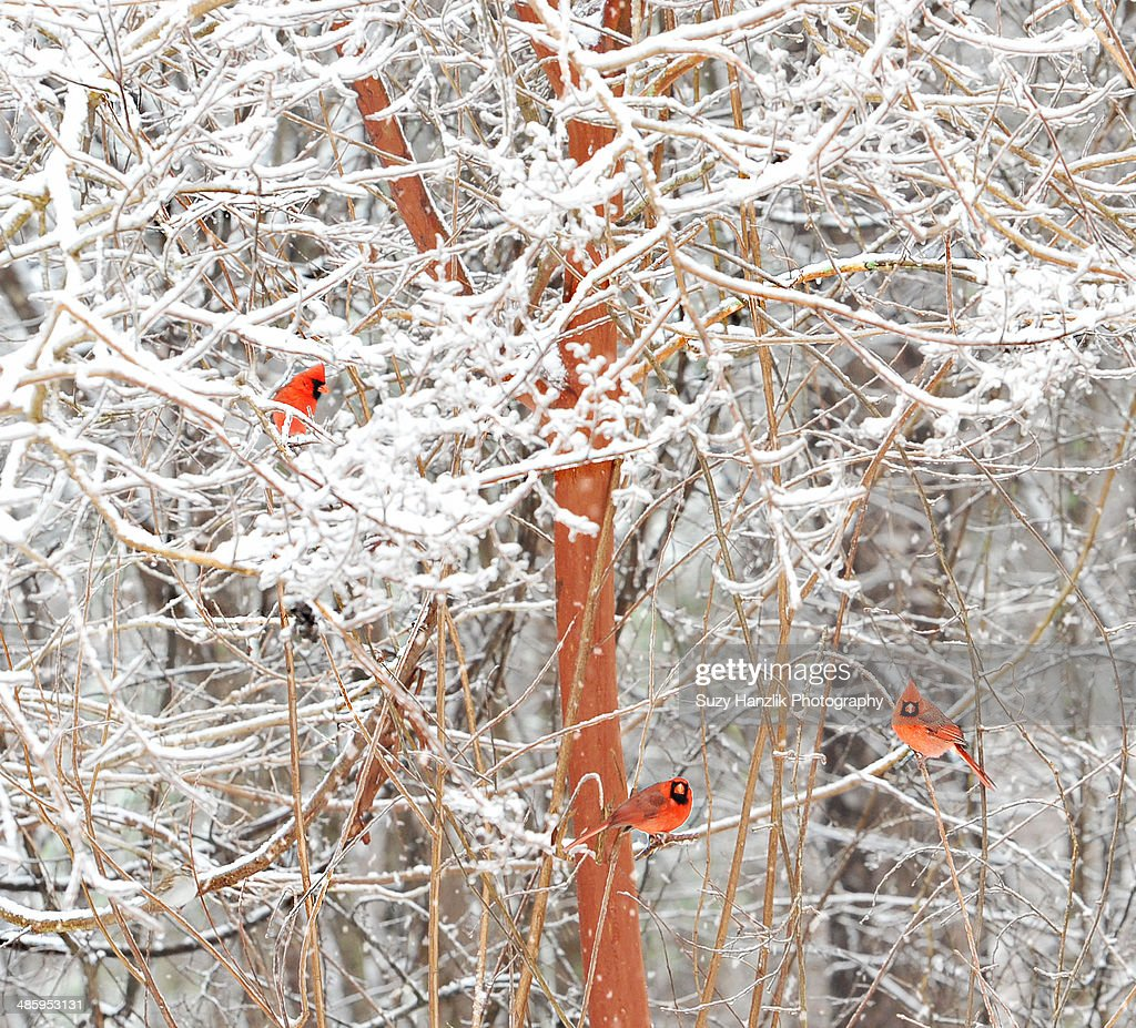 Red Cardinal Birds in Winter tree : Stock Photo
