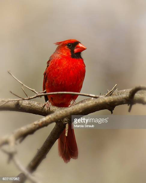 Red Cardinal on a Tree Branch