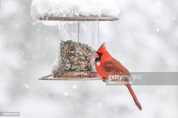 red cardinal on feeder - cardinal bird stock photos and pictures