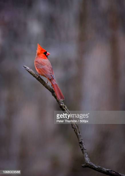 red cardinal perching on tree branch - cardinal bird stock photos and pictures