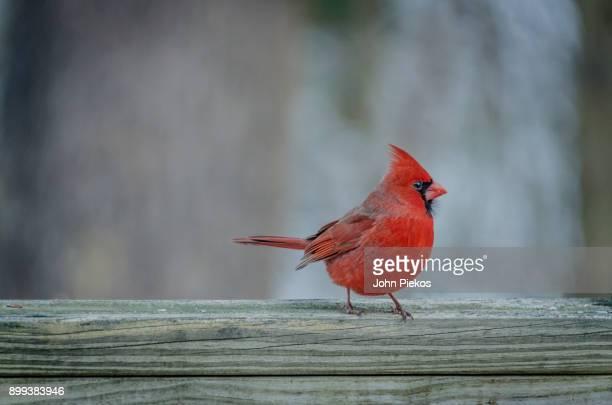 red cardinal strikes a pose - cardinal bird stock photos and pictures