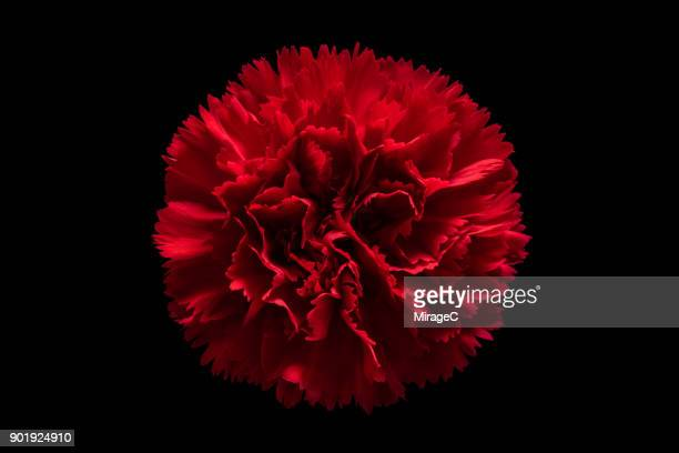 red carnation flower on black background - carnation flower stock pictures, royalty-free photos & images