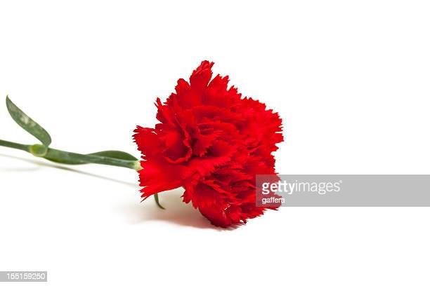 red carnation - carnation flower stock pictures, royalty-free photos & images