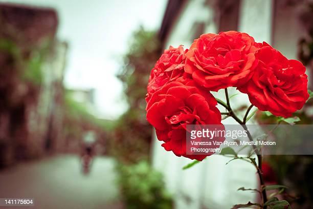 red carnations on street - vanessa van ryzin ストックフォトと画像