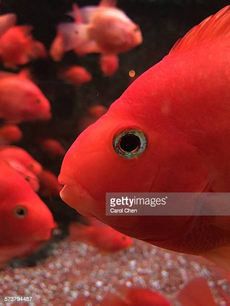 red carp - redfish stock photos and pictures