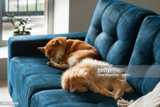 red cat and red shiba inu dog sleeping on blue couch in light living room - domestic cat stock pictures, royalty-free photos & images