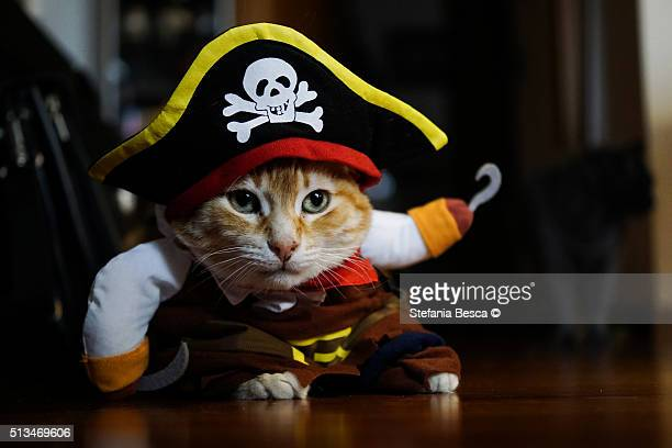 Red cat dressed up as Caribbean Pirate