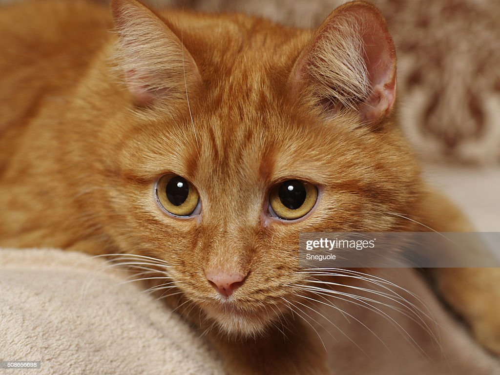 red cat : Stock Photo