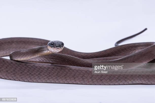 Red cat snake (Boiga nigriceps)