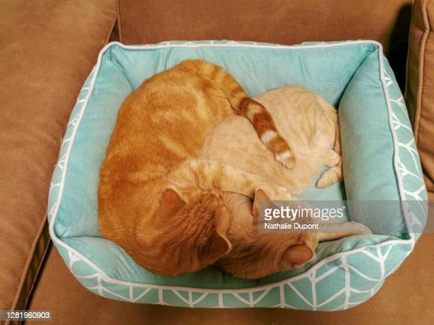 2 red cats against each other - charleroi stock pictures, royalty-free photos & images
