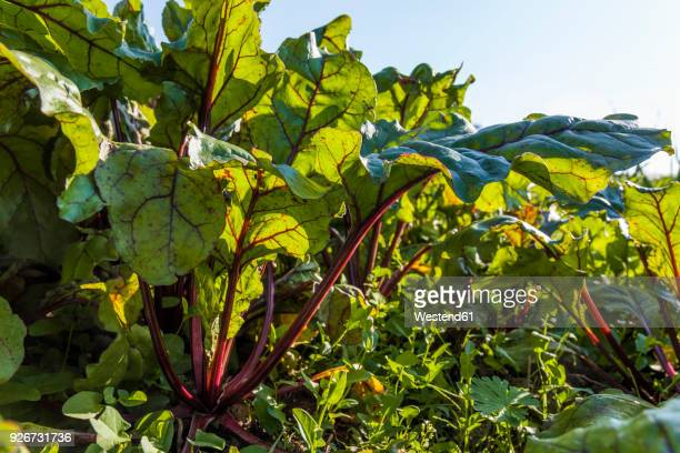 Red chard growing on field