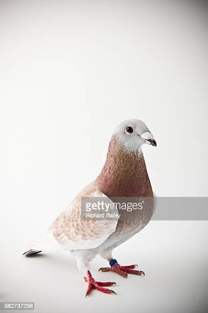 Red Cheek American Showracer pigeon