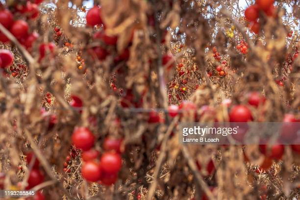 red cherry - lianne loach stock pictures, royalty-free photos & images