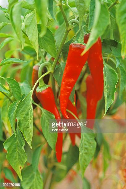 Red Chili Peppers on Plant