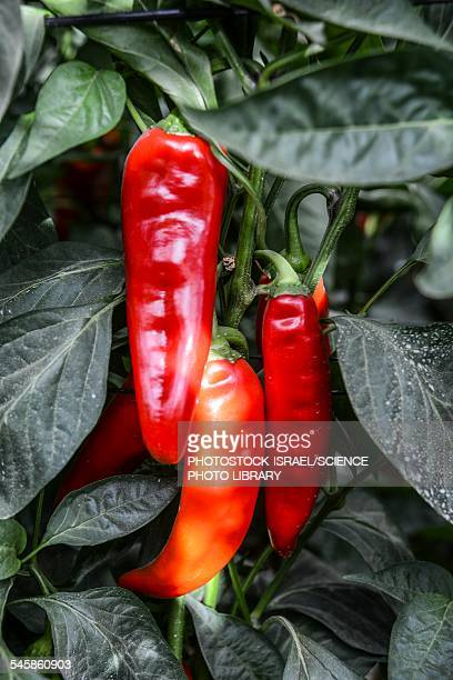 red chilli peppers - photostock stock pictures, royalty-free photos & images